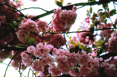 Parole et méditation du lundi 16 février:« Ouvre mes yeux...aux merveilles de ta Loi » Cerisier%202